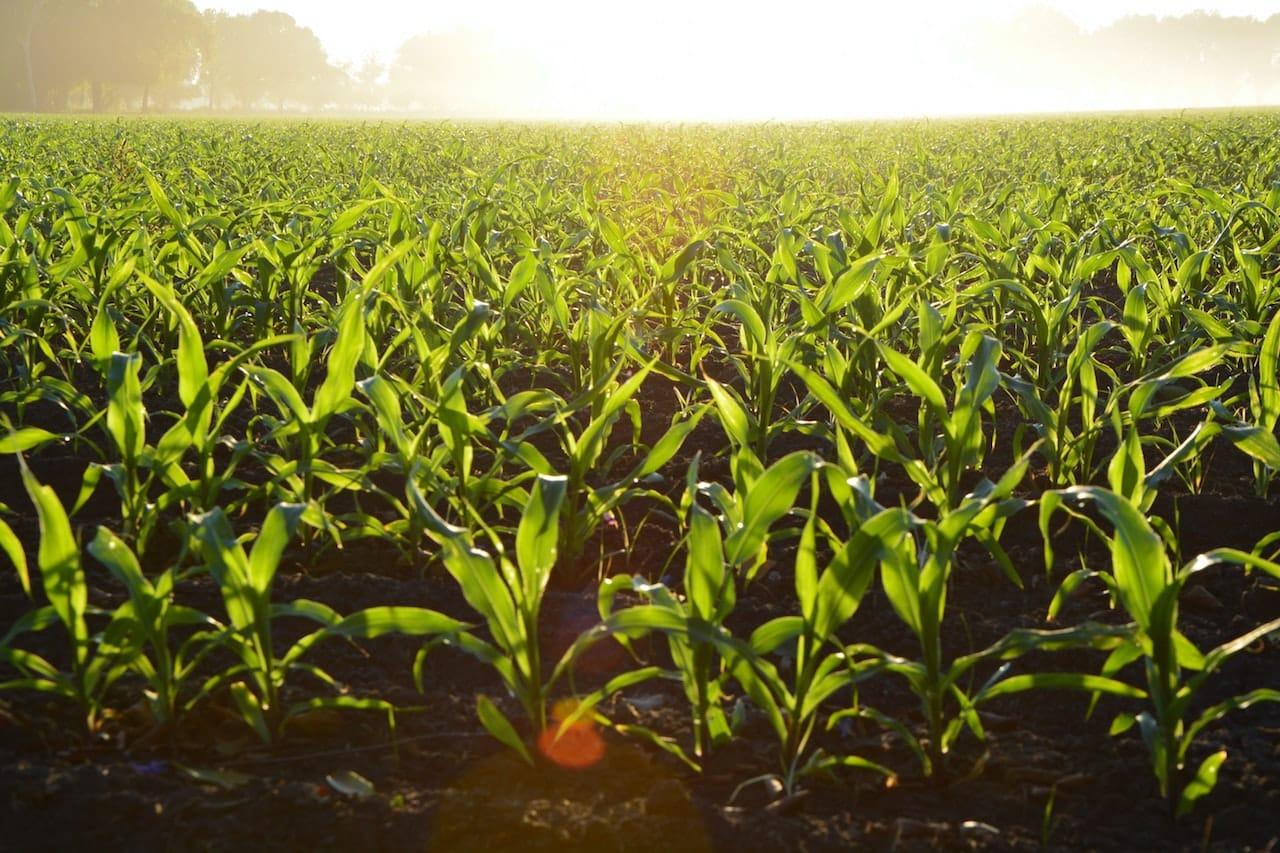 corn-96715